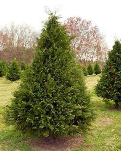 southern christmas trees
