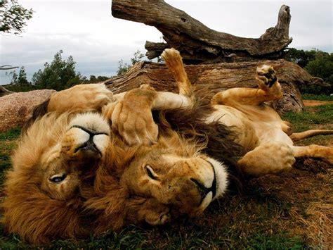 imagenes de tres leones juntos imagenes de leones imagen familia de leones descansando