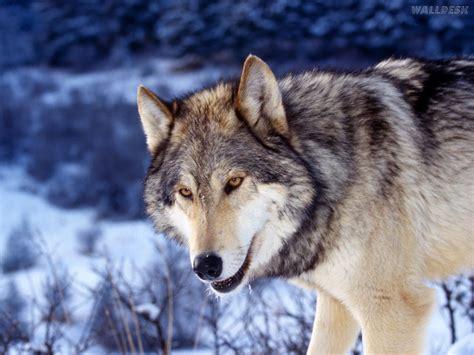 imagenes goticas de lobos lobo branco das neves pap 233 is de parede para pc fotos