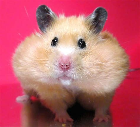 hamster with hamster with cheeks pet