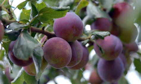when prune fruit trees prunes fruit images images