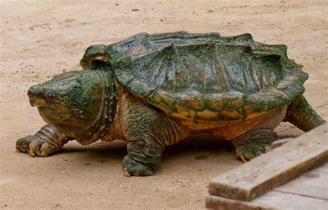 imagenes de tortugas raras 18 de las m 225 s raras y maravillosas especies de tortugas