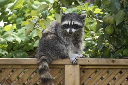 what to do if a raccoon is in your backyard what to do about raccoons digging holes in your yard