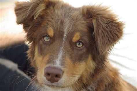 australian breeds breeds australian shepherd personality dogalize