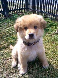 golden retriever chow puppies 1000 images about golden chow on golden retrievers golden retriever mix