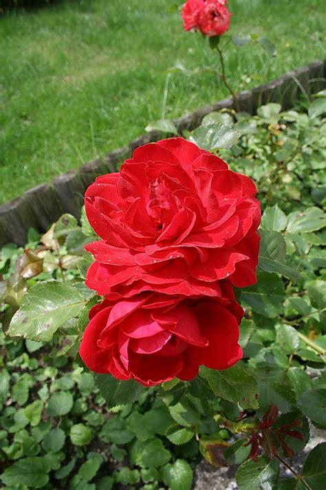 imagenes de flores unicas linda s imagens de flores related keywords linda s