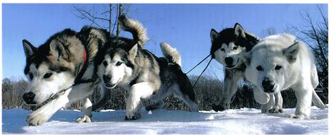 sled dogs effect why are more beautiful in groups the atlantic
