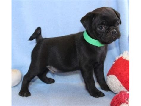 akc pug puppies for sale akc white pugs puppies for sale 12 weeks animals swarthmore