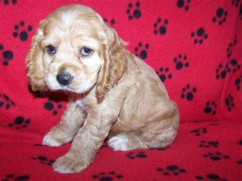 petland puppies for sale pictures for petland waterford lakes in orlando fl 32828