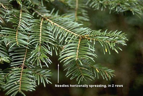 Foliage Plants For Shade - abies grandis landscape plants oregon state university