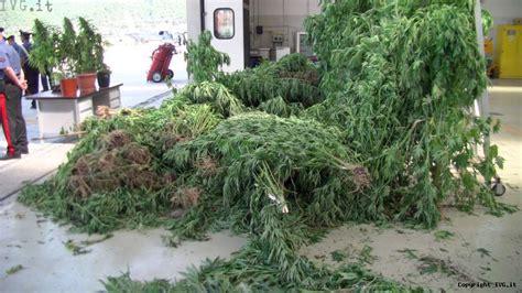 come coltivare cannabis in casa una tonnellata di cannabis a casanova sotto casa la