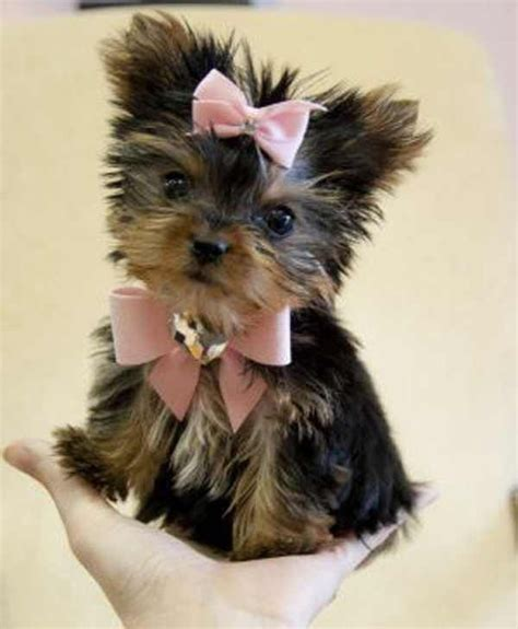 adorable yorkies yorkie puppy precious