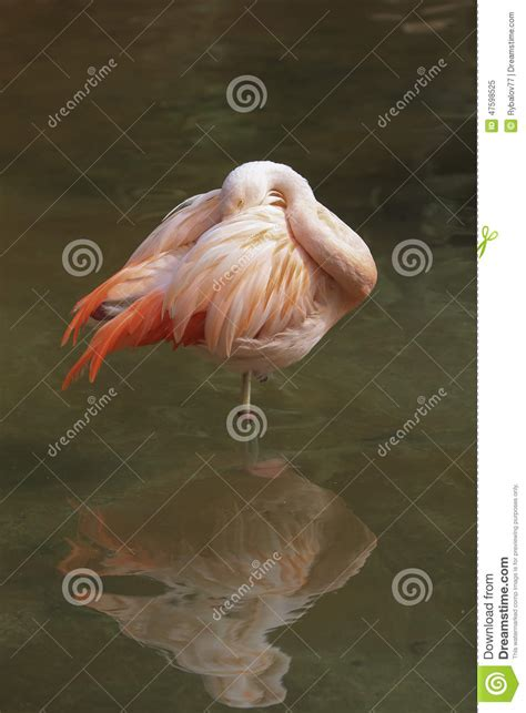 Pink Zoo pink flamingos at the zoo stock photography