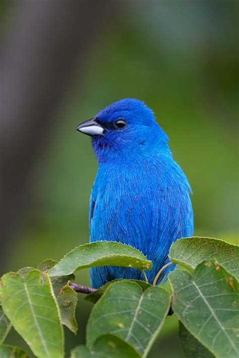 indigo bunting photo muskrat s photos photos at pbase com