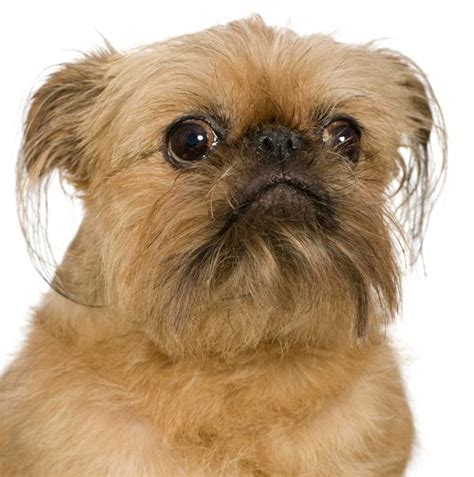 brussels griffon puppy brussels griffon breed brief info