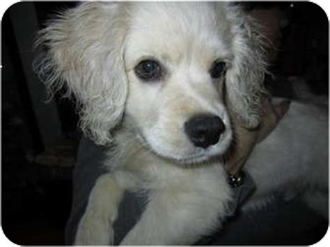 golden retriever king charles spaniel mix cavalier king charles spaniel golden retriever mix