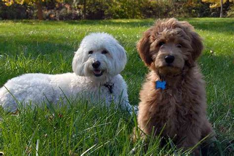 golden retriever cross breeds list designer dogs list of designer breeds info and images hybrid dogs