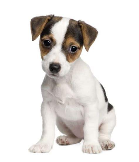 imagenes perros jack russell terrier jack russell terrier razas perros mascotas