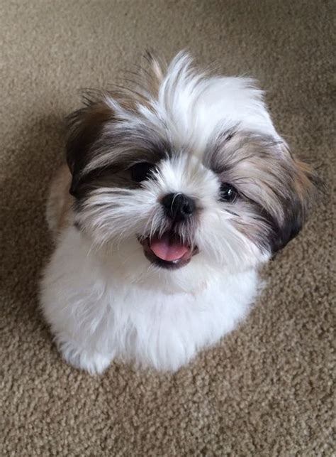 list of shih haircut the right shih tzu haircut