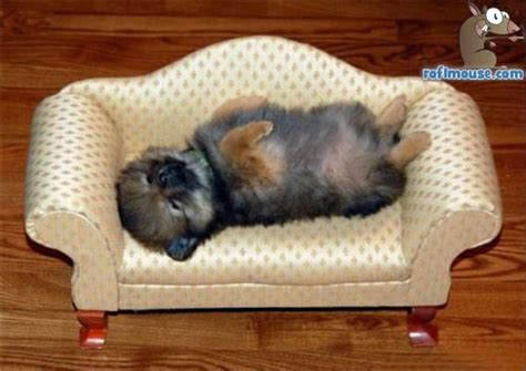sofa dogs funny puppy sleeping images funny animal