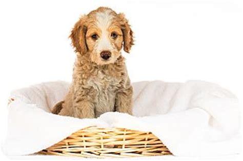 golden retrievers for adoption in michigan livonia mi poodle miniature golden retriever mix meet a puppy for adoption