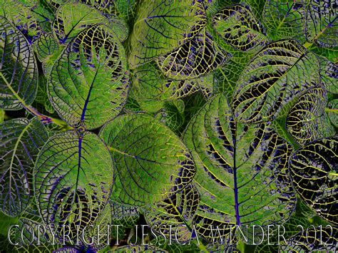 patterns in nature leaves leaf pattern photographic salmagundi page 2