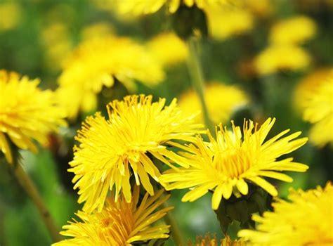 fiori dente di tarassaco dente di cicoria selvatica taraxacum