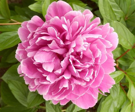 pink peonies photograph by ruby hummersmith 10 images about aimee arbic photography on pinterest
