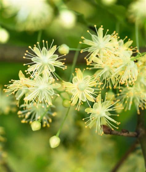 fiori di tiglio i fiori di tiglio profumo nell infusione di