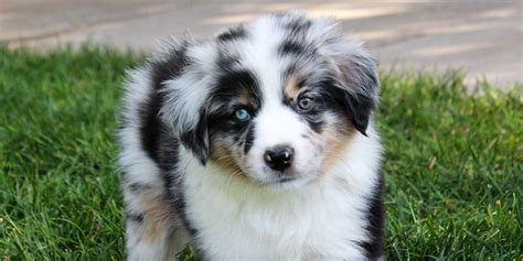 miniature american shepherd puppies miniature american shepherd information characteristics facts names