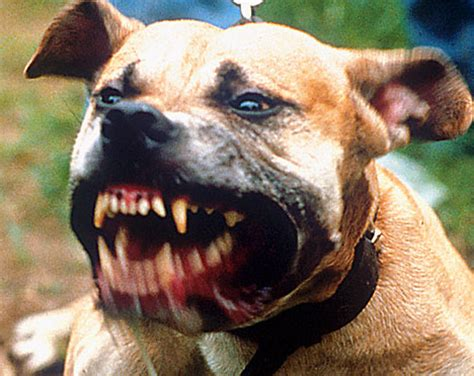 vicious dogs worlds most dangerous dogs carzy images