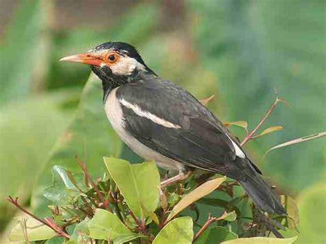 Pakan Ternak Branjangan kenari lokal burung faforit indonesia