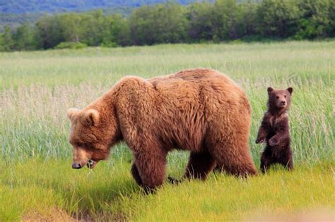 gambar beruang bahasa pendidikan bahasa pendidikan