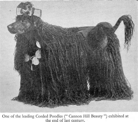 poodles long hair in winter the changing coat of the poodle