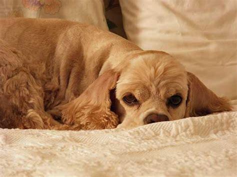 comfort spaniel choosing dog beds