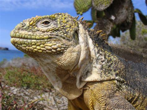 Galapagos Islands Animals | animals galapagos land iguana galapagos islands ecuador