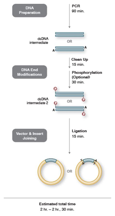 pcr product as template pcr cloning method neb