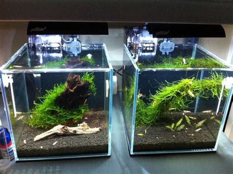 aquascape shrimp tank jake s high clarity shrimp cubes page 5 aquascaping aquarium pinterest