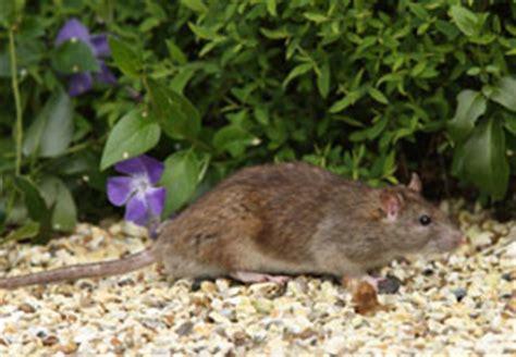 Ratten Im Garten Bekämpfen 2156 by Tipps Gegen Nager