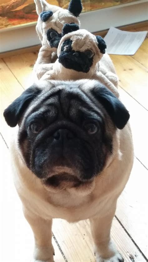 pug norwich chion bloodline proven fifth generation pug norwich norfolk pets4homes