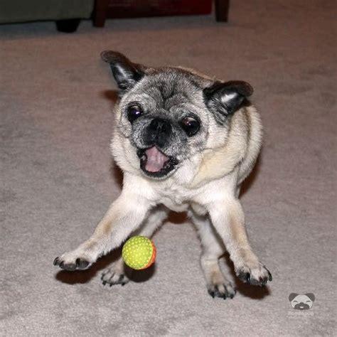 ermahgerd pug pug says er mah gerd tennis berl ermahgerd verdeorsh