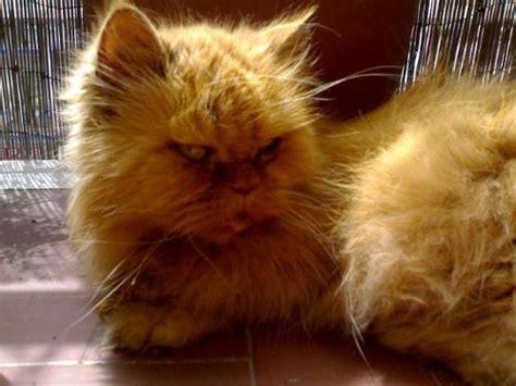 gatti alimentazione casalinga alimentazione casalinga per irc gatto