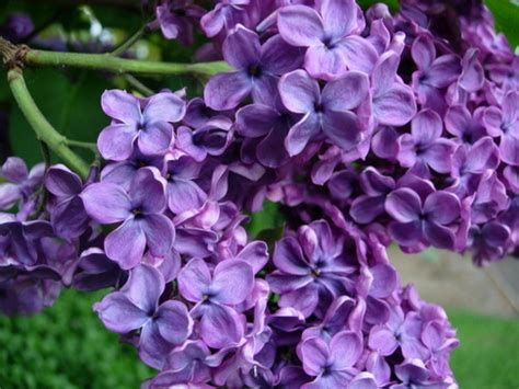 purple lilac flowers the common knowledge about beautiful lilac flowers