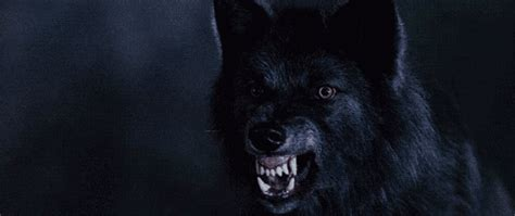 growling gif   Tumblr Growling Black Wolf With Yellow Eyes