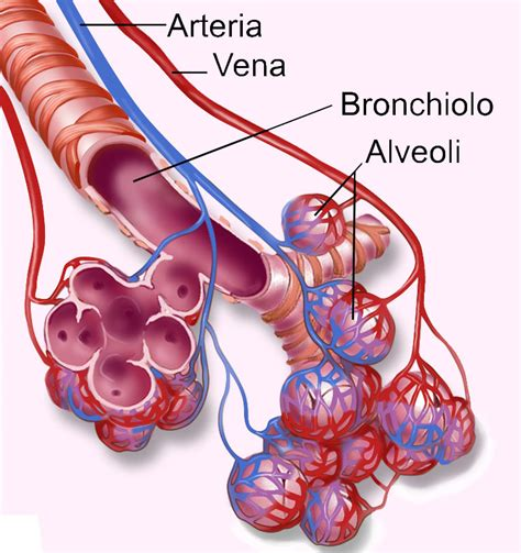vasi polmonari il sistema respiratorio thinglink