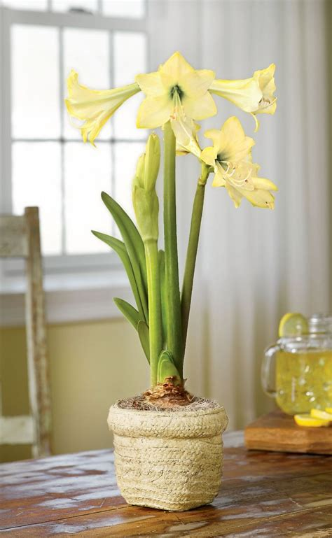 Gardeners Supply Amaryllis Honeybee Amaryllis Yellow Amaryllis Bulbs Gardeners
