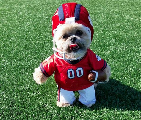 munchkin the shih tzu munchkin the shih tzu gets pumped up for bowl this s