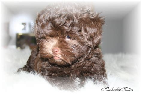 shih tzu puppies for sale in cedar rapids iowa shih tzu scottish terrier breeders teacup puppies yorkie breeds picture