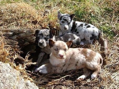koolie puppies australian koolie breed pictures 2