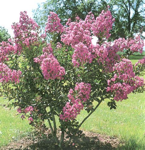 alberi da fiore ornamentali arbusti ornamentali vivai barberis
